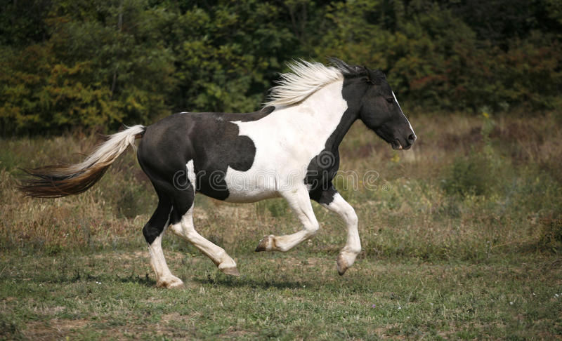 Spotted horse galloping in the field. Beautiful black and white horse running in pasture stock photography