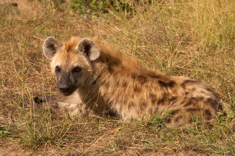 Download Spotted Hyaena stock photo. Image of safari, ecology - 15369188