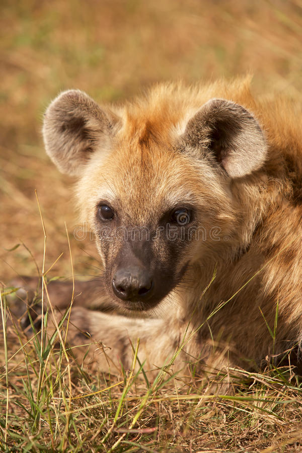 Download Spotted Hyaena Stock Image - Image: 15369211