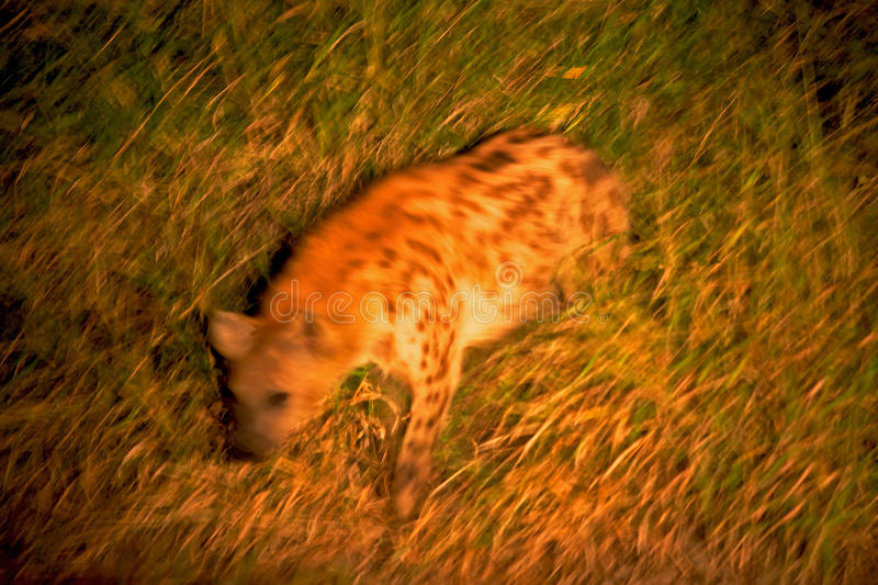Download Spotted Hyaena stock image. Image of african, predator - 15563731
