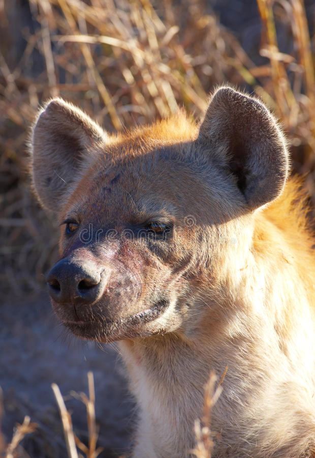 Download Spotted Hyaena (Crocuta Crocuta) Stock Image - Image: 12188653