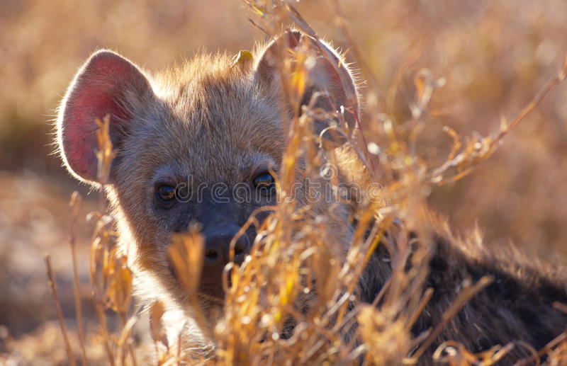 Download Spotted Hyaena (Crocuta Crocuta) Stock Photo - Image: 12188656