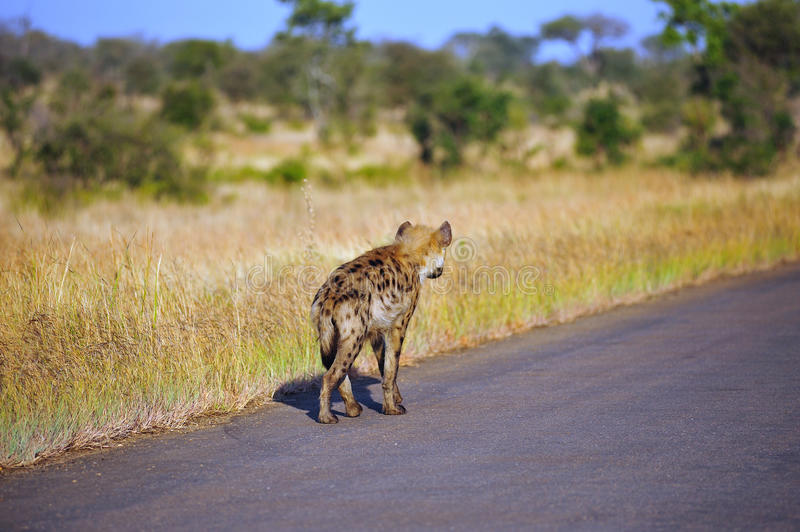 Download Spotted Hyaena (Crocuta Crocuta) Stock Image - Image: 9557471