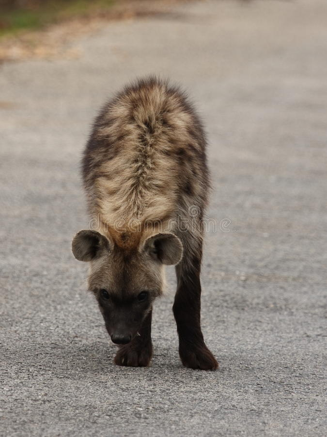 Download Spotted Hyena. stock image. Image of nocturnal, africa - 12231933