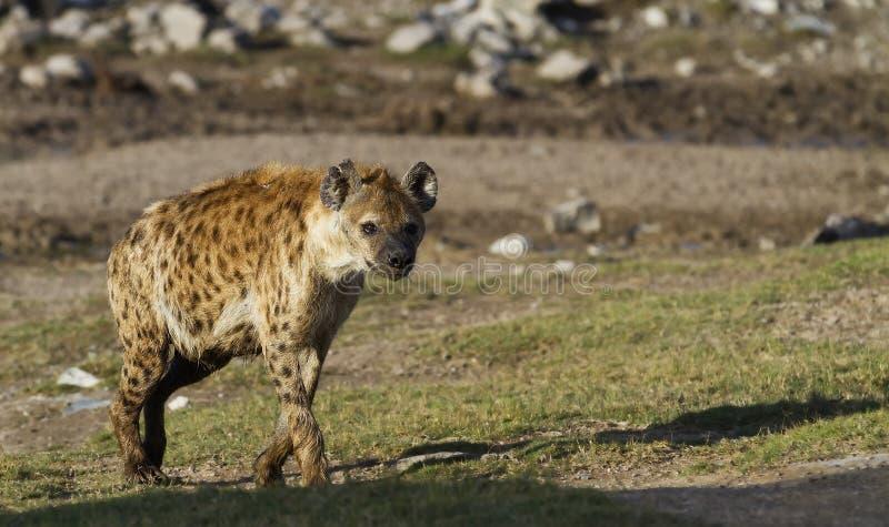 Download Spotted Hyena stock image. Image of nature, safari, bush - 19550619