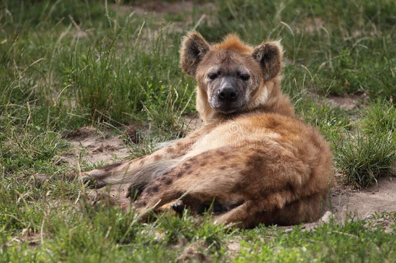Download Spotted hyena stock image. Image of animal, carnivorous - 20231555