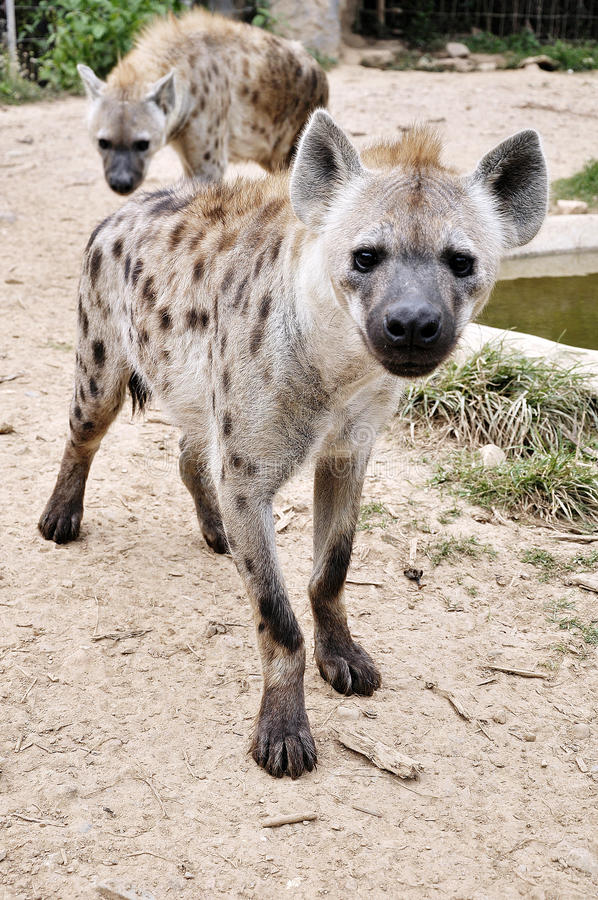 Download Spotted hyena stock photo. Image of dangerous, east, crocuta - 20738074