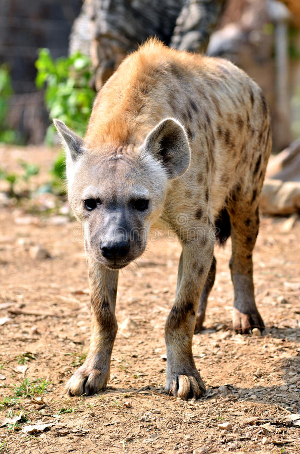 Download The spotted hyena stock image. Image of mane, scavenge - 26118007