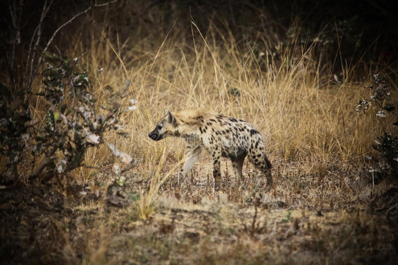 Download Spotted hyena stock photo. Image of park, spotted, hyena - 27202586