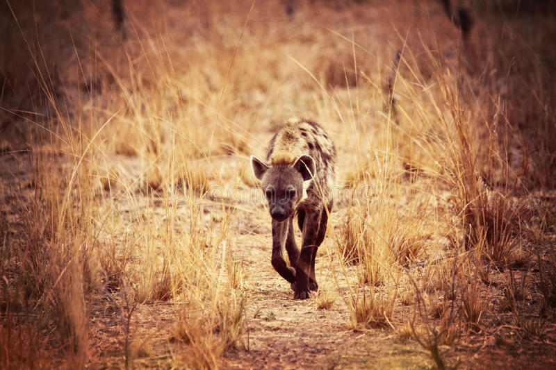 Download Spotted hyena stock image. Image of predator, ferocious - 27202603