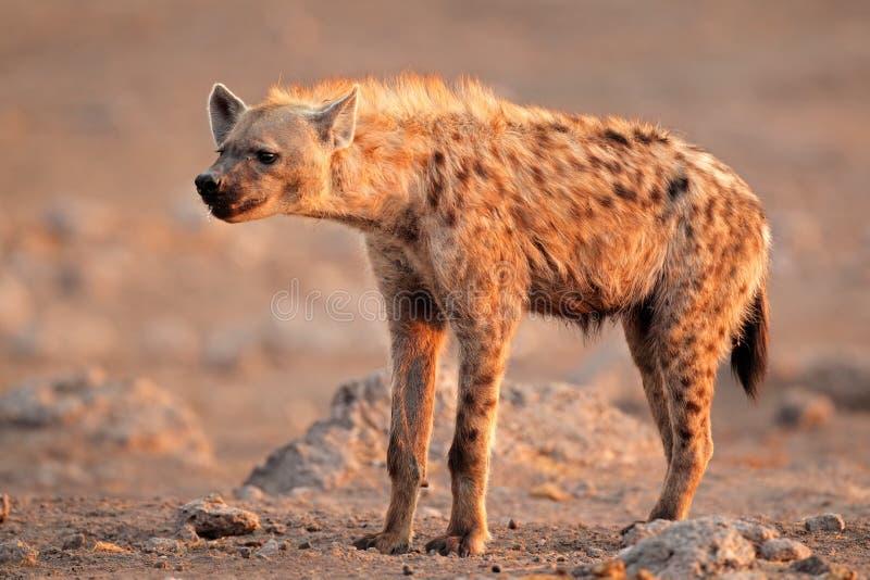 Download Spotted hyena stock image. Image of safari, ferocious - 27939521