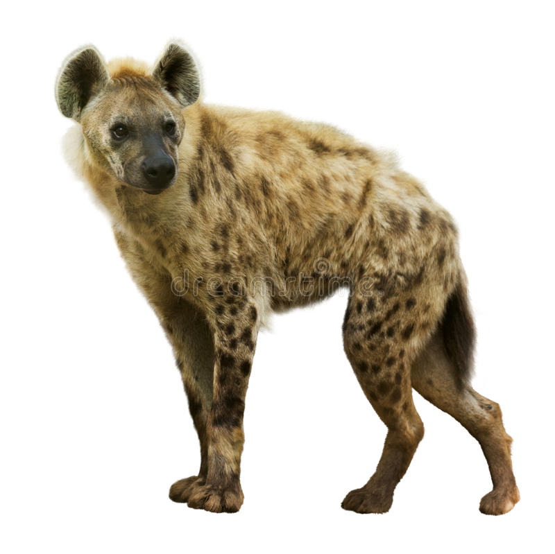 Free Spotted Hyena Royalty Free Stock Images - 43492069