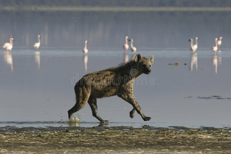 Download Spotted Hyena stock image. Image of flamingos, spotted - 659541