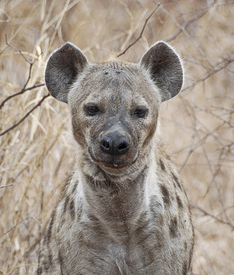 Download Spotted Hyena stock photo. Image of wilderness, staring - 6730256