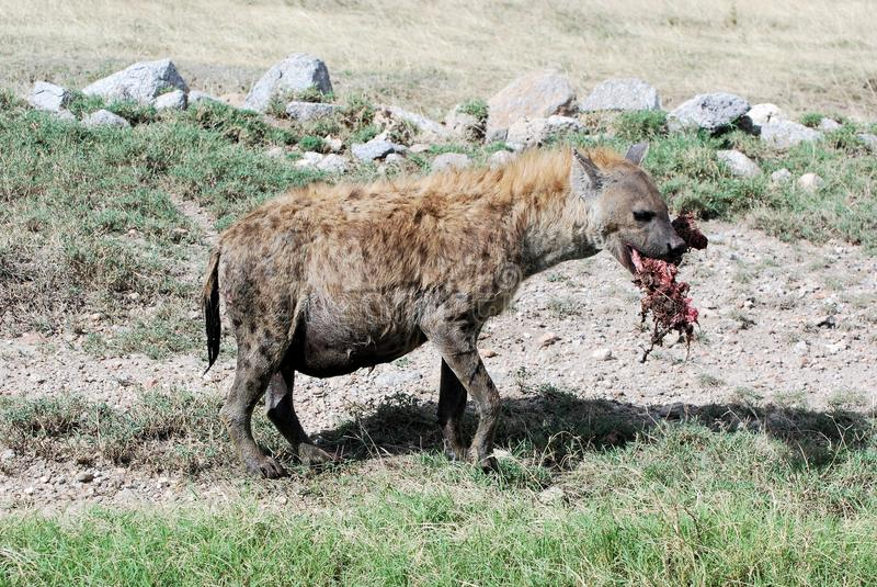 Spotted hyena with bloody piece of prey in its mou. Running spotted hyena (Crocuta Crocuta) female and pregnant also known as the laughing hyena with bloody stock images