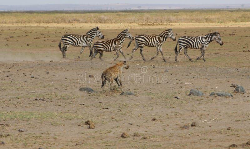 Hyena Chasing Zebras royalty free stock images