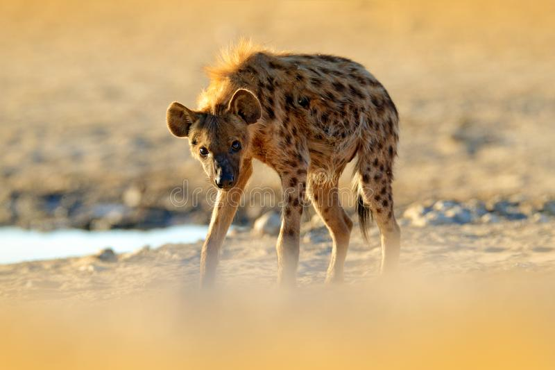 Spotted hyena, Crocuta crocuta, angry animal near the water hole, beautiful evening sunset. Animal behaviour from nature, wildlife stock images