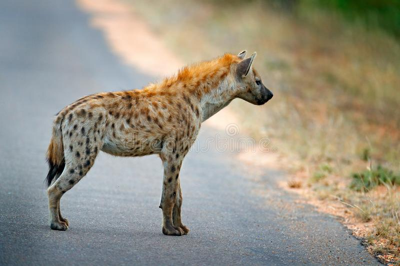 Spotted hyena, Crocuta crocuta, on the . asphalt road. Animal behaviour from nature, wildlife in Kruger National Park, Africa. stock image