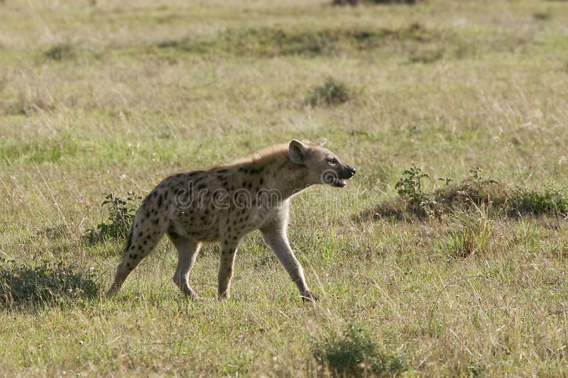 Download Spotted Hyena (Crocuta Crocuta) Stock Photo - Image: 10577918
