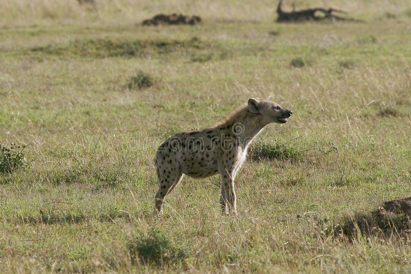 Download Spotted Hyena (Crocuta Crocuta) Royalty Free Stock Photo - Image: 10855305