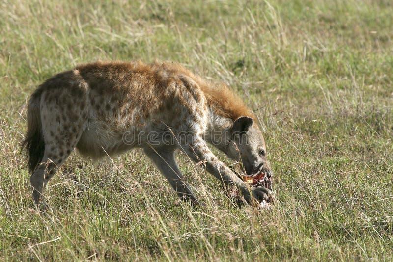 Download Spotted Hyena (Crocuta Crocuta) Stock Image - Image: 10855323