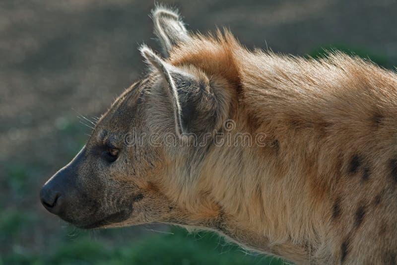 Download Spotted Hyena (Crocuta Crocuta) Stock Photo - Image: 18049144