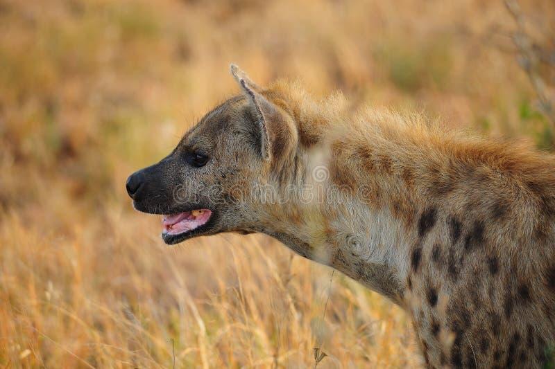Spotted Hyena (Crocuta crocuta) stock photo
