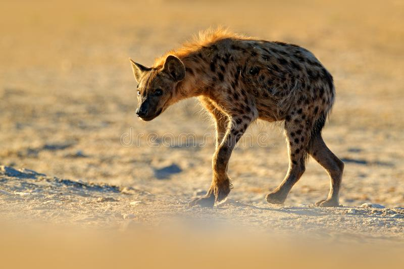 Spotted hyena, Crocuta crocuta, angry animal near the water hole, beautiful evening sunset. Animal behaviour from nature, wildlife royalty free stock images