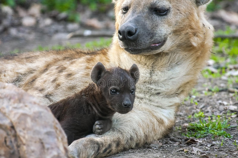 Hyena Offspring Spotted Hyena (Crocuta...