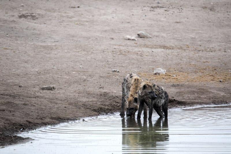 Spotted hyena, Crocuta crocuta, drinking waterhole, Etosha National Park, Namibia. The Spotted hyena, Crocuta crocuta, drinking waterhole, Etosha National Park royalty free stock photo