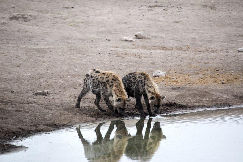 Spotted hyena, Crocuta crocuta, drinking waterhole, Etosha National Park, Namibia. The Spotted hyena, Crocuta crocuta, drinking waterhole, Etosha National Park stock image