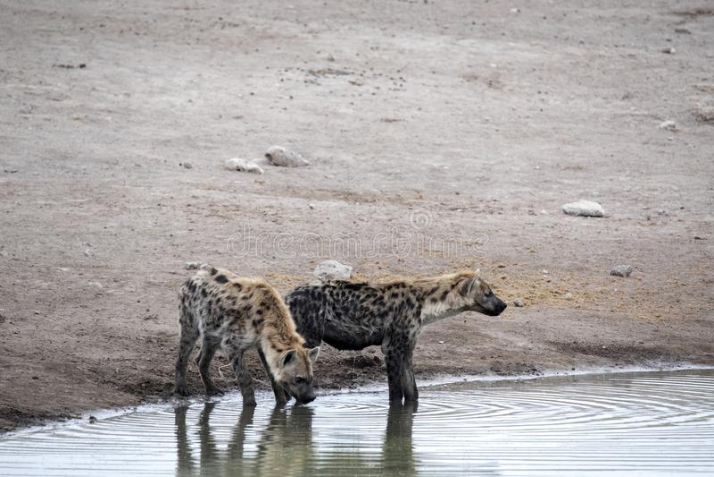 Spotted hyena, Crocuta crocuta, drinking waterhole, Etosha National Park, Namibia. The Spotted hyena, Crocuta crocuta, drinking waterhole, Etosha National Park stock photo