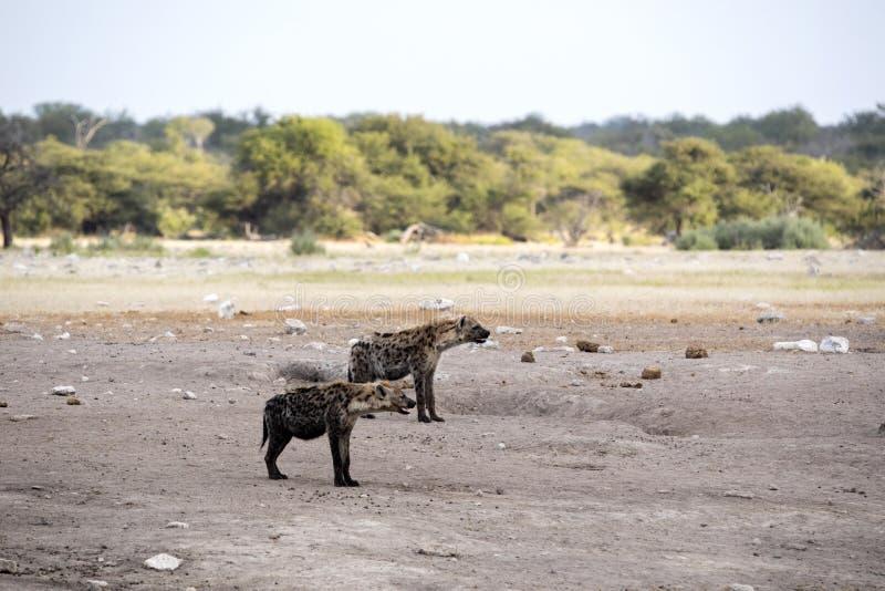 Spotted hyena, Crocuta crocuta, near waterhole, Etosha National Park, Namibia. The Spotted hyena, Crocuta crocuta, near waterhole, Etosha National Park, Namibia royalty free stock photography