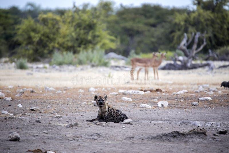 Spotted hyena, Crocuta crocuta, near waterhole, Etosha National Park, Namibia. The Spotted hyena, Crocuta crocuta, near waterhole, Etosha National Park, Namibia royalty free stock photos