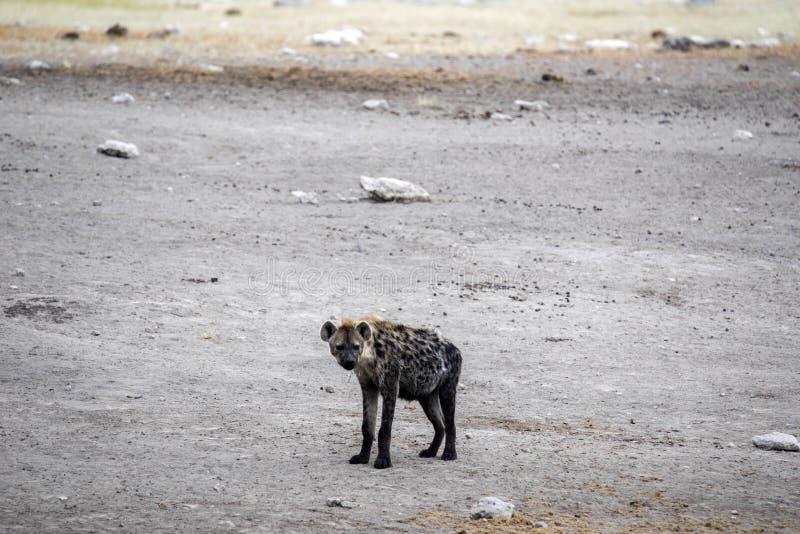 Spotted hyena, Crocuta crocuta, near waterhole, Etosha National Park, Namibia. The Spotted hyena, Crocuta crocuta, near waterhole, Etosha National Park, Namibia stock images