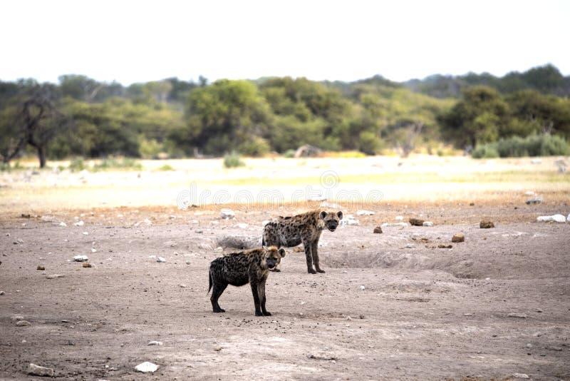 Spotted hyena, Crocuta crocuta, near waterhole, Etosha National Park, Namibia. The Spotted hyena, Crocuta crocuta, near waterhole, Etosha National Park, Namibia royalty free stock photo
