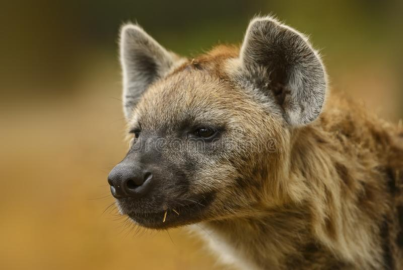 Spotted Hyena, Crocuta crocuta - portrait royalty free stock photography