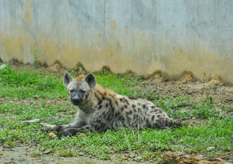 Spotted hyena Crocuta crocuta stock photography