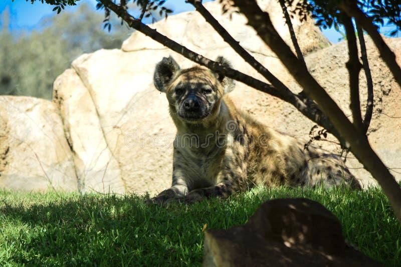 Spotted hyena Crocuta crocuta royalty free stock photo