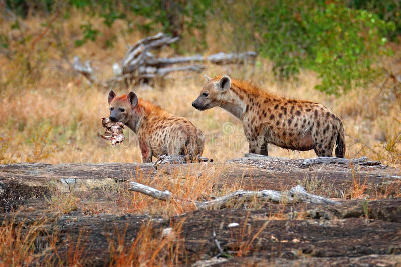 Spotted hyena, Crocuta crocuta, two angry animals with catch. Small hippo in hyenas muzzle. Animal behaviour from nature, wildlife stock photography
