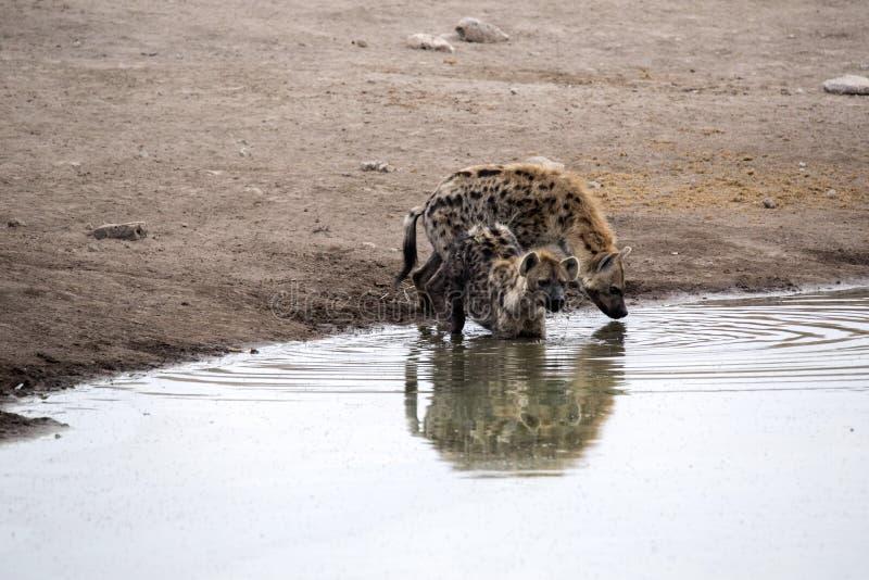 Spotted hyena, Crocuta crocuta, drinking waterhole, Etosha National Park, Namibia. The Spotted hyena, Crocuta crocuta, drinking waterhole, Etosha National Park royalty free stock photos