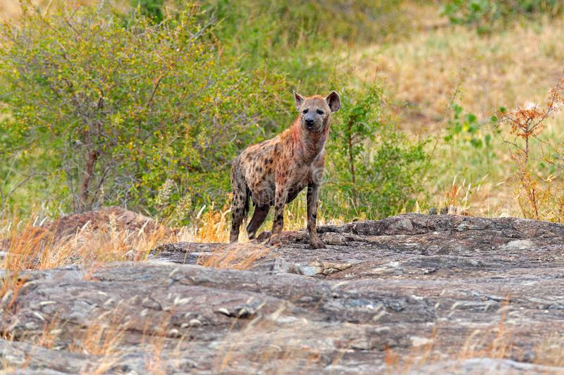 Spotted hyena, Crocuta crocuta, on grey stone mountain. Animal behaviour from nature, wildlife in Kruger National Park, Africa. royalty free stock photos