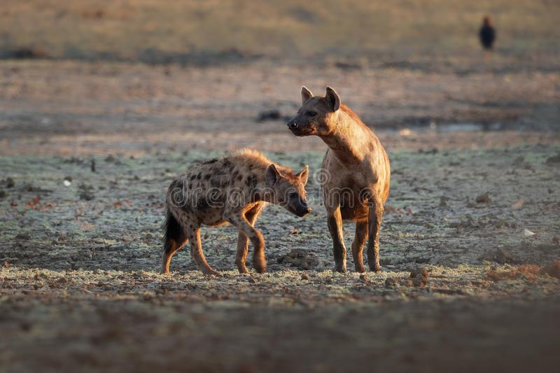 Spotted Hyena - Crocuta crocuta after meals walking in the park. Beautiful sunset in Mana Pools. Zimbabwe, looks like from the stock photos