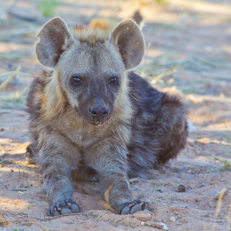 Download Spotted Hyena cub stock image. Image of walking, south - 22635361