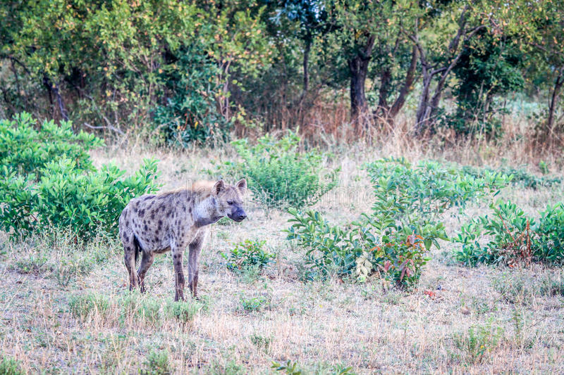 Download Spotted Hyena In The Grass. Stock Photo - Image: 83724450