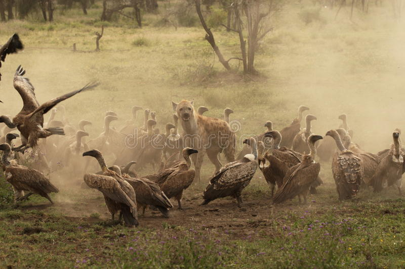 Spotted Hyena guards a kill whilst encircled by vultures in Ndutu royalty free stock photos