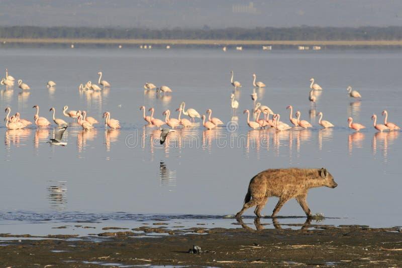 Spotted Hyena hunting flamingo on safari in Kenya. Sunrise in Nakuru lake stock photo
