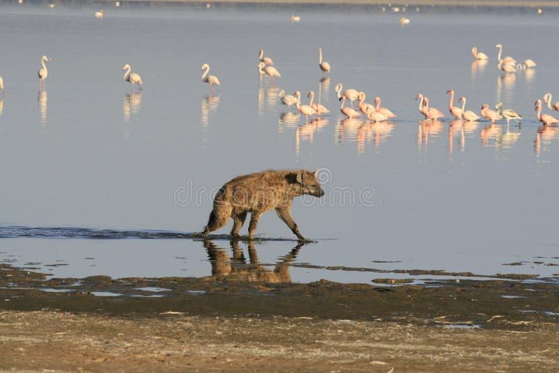 Spotted Hyena hunting flamingo on safari in Kenya. Sunrise in Nakuru lake royalty free stock images