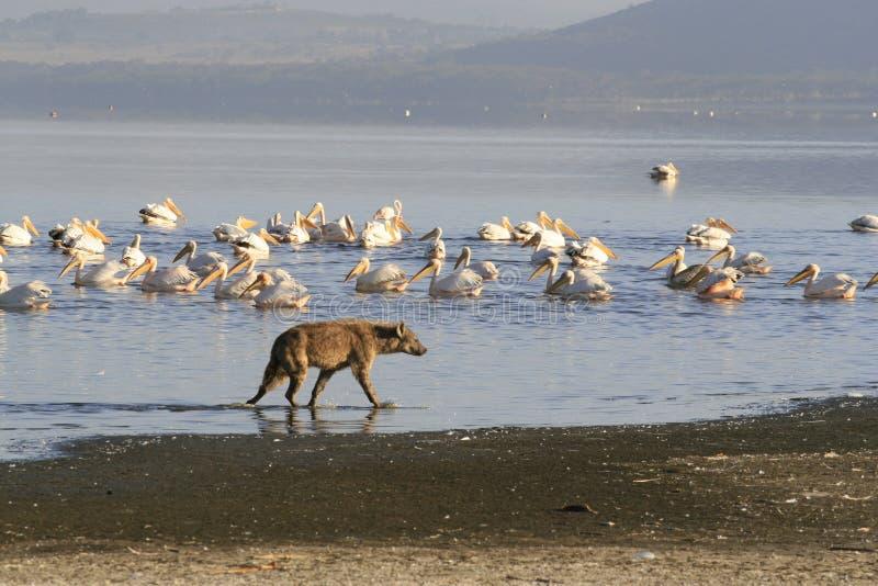 Spotted Hyena hunting flamingo on safari in Kenya. Sunrise in Nakuru lake stock photos