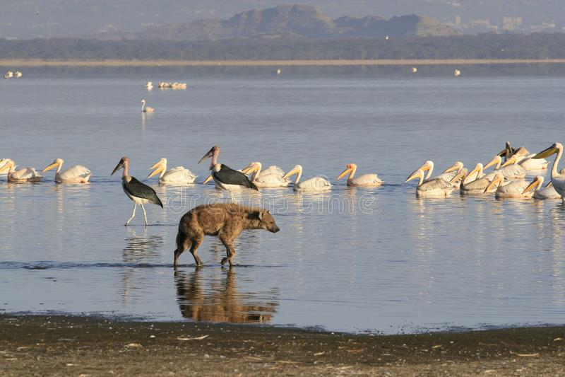 Spotted Hyena hunting flamingo on safari in Kenya. Sunrise in Nakuru lake stock photography